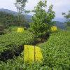 Trappes d'attrait de phéromone de sexe d'insecte de contrôle des parasites de thé