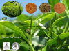 Polyphenols do chá do extrato do chá verde 30%~98%; EGCG 30%~98%
