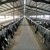 FertigstahlStrucure Kuh verschüttet für Verkauf