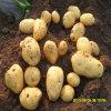 De Verse Aardappel van de hoogste Kwaliteit (Nieuw Gewas)