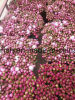 Fleur coupée fraîche de pivoine herbacée
