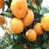 Orangen-Zelle Zhejiang-Quzhou 3L