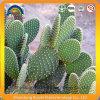 Het Chinese KruidenUittreksel van de Cactus van de Vijgencactus van het Uittreksel