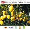 Natürlich reife frische vollständige Mangofrucht