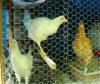 Maillage fil de volaille en style hexagonal ou soudé