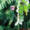 Kichererbse-Blütenstaub-Tabletten, Biokost