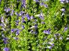 Scutellaria Baicalensis Extracto Baicalina, baicaleína, wogonin, grado farmacéutico