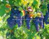 Resveratrol 5%のブドウの皮のエキス