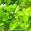 Rame naturale Chlorophyllin E141 del sodio dell'estratto di colore verde
