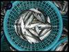 De Bevroren Zeevruchten van de makreel Vissen voor Verkoop (japonicus Scomber)