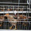 Poul Tech Pullet Chicken Cage
