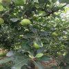 Frische grüne Gala-Apple-Frucht