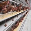 A camada de gaiola de frango com alimentação automática do sistema de coleta de ovos de consumo