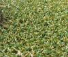 Relvado sintético para o campo de golfe (CPG-10PP)