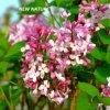 도매 직업적인 공급자 순수한 향수 정향나무 새싹 정유 또는 성 기름