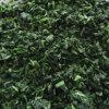 Новый шпинат урожая замерли IQF, котор прерванный