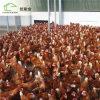 La Chambre élevée la plus neuve de ferme avicole de couche d'éleveur de grilleur d'assistance sociale