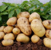 Shandong Province Fresh Potato clouded