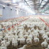 Volles Set Equipment für Broiler Poultry House