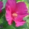 Extrait de fleurs d'hibiscus Anthocyanidines; Polyphénols