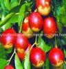 кровь органического плодоовощ Jujube /Red выдержки Jujube 100%Natural (красный Jujube) кормя, кормя хандра и живот, предохранение от печенки, Detoxification, здоровая еда