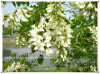 자연적인 Sophora 꽃 Flos Sophorae 추출 분말