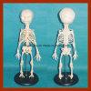 Alta calidad del modelo anatomía del esqueleto del bebé