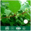 100% Natuurlijke Resveratrol van ReuzeUittreksel Knotweed voor de Uitbreiding van het Leven