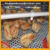 Hete de Apparatuur van de Kooien van het Kuiken van de jonge kip/Ondergedompeld Koud Gegalvaniseerd (een Frame van het Type)