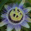 Extrait Passiflora / extrait de Passionflower Extrait Passiflora Incarnata