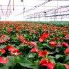 De serre van de Film Multispan voor Bloemen