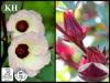 Polifenolo dell'estratto 10%-30% di Roselle di alta qualità del rifornimento