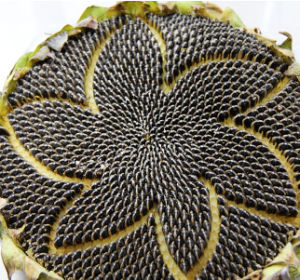China Origin 5009 Sunflower Seeds for Oil