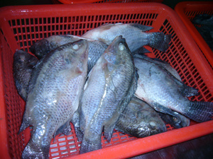 Frozen Whole Round Tilapia Fish