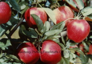 2017 Fresh Red Star Apple with High Quality pictures & photos