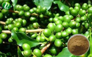 China Green Coffee Bean Powder Chlorogenic Acid China Green