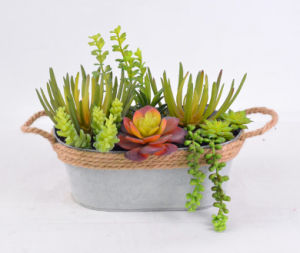 Cute Mixed Succulent in Cement Pot for Decoration