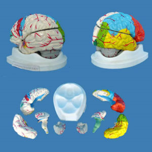 Natural Size Brain Anatomic Model for Medical Teaching 8 Pieces (R050110)