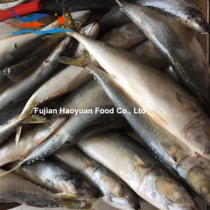 Newest Frozen Fish Pacific Mackerel pictures & photos