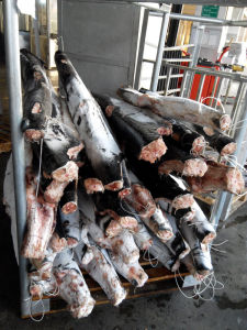 Frozen Fish Fro Blue Shark pictures & photos