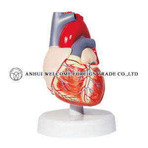 Model of Heart Dissection Human Model