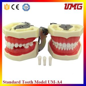 Sale! ! ! Dental Teaching Equipment Dental Demonstration Models pictures & photos