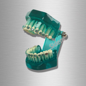Dental Teaching Adult Standard Typodont Demonstration Teeth Model pictures & photos