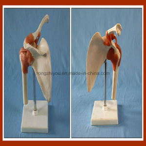 Medical Model Artificial Left Shoulder Joint Model for Wholesale School Supplies