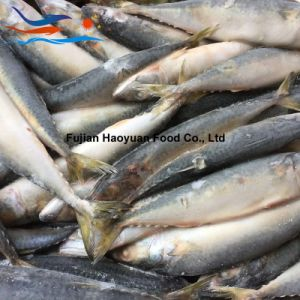 Manufacturing Frozen Fish Pacific Mackerel pictures & photos