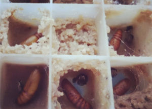 Live Insect Spodoptera Litura Pupae for Sale pictures & photos