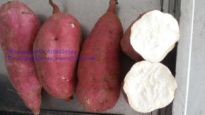 Top Quality New Crop Sweet Potato Health Food