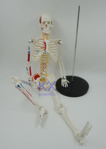 High Quality 85cm Human Musclar Skeleton Model