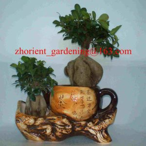 China Ficus Ginseng Microcarpa Mini Potted Bonsai Tree Taiwan Ficus