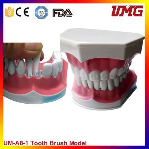 Hot Sale Removable Teeth Model for Baby Oral Teaching pictures & photos